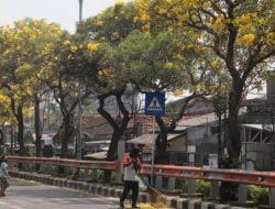 Bunga Tabebuya Tersebar di Seluruh Kota Surabaya, Begini Cara Merawatnya